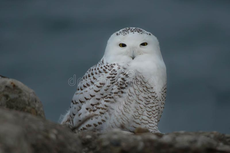Snowy Owl. Resting on the rocks. Tommy Thompson Park, Toronto, Ontario, Canada stock photos