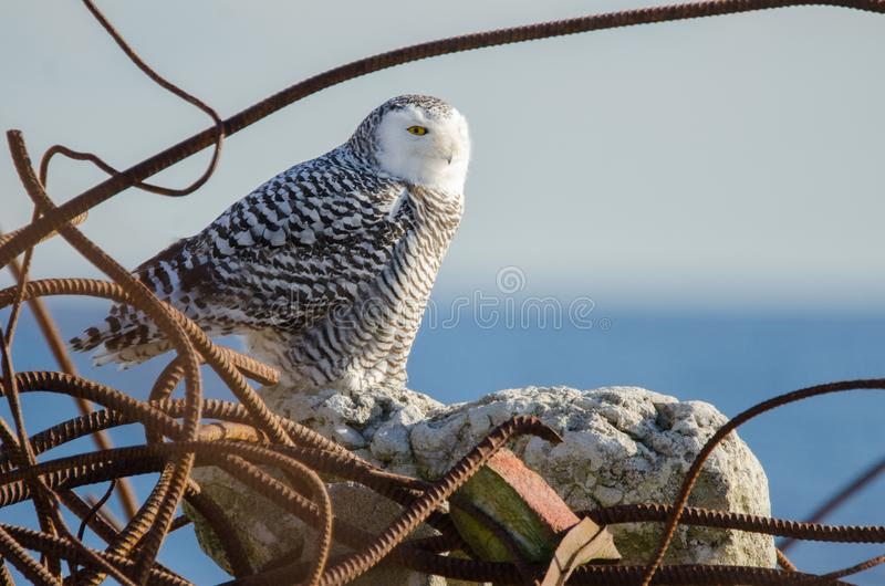 Snowy Owl On Rock Surrounded By Garbage stock photos