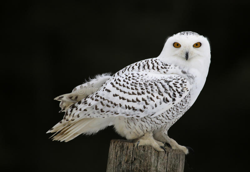 Snowy Owl Sitting royalty free stock image
