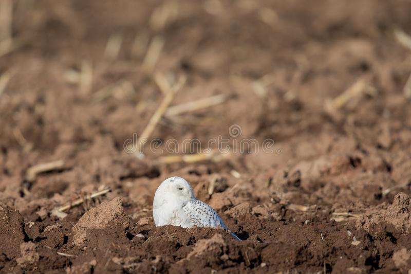 Snowy Owl Sitting in a Farm Field royalty free stock image