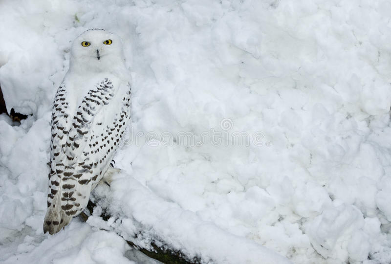 Snowy Owl in Snow. Female Snowy Owl in snow, Standing to the left royalty free stock photo