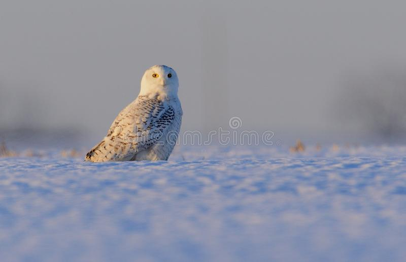 Snowy Owl in a snow covered field. A Snowy Owl standing in a snow covered field just after sunrise in Pennsylvania during a February winter royalty free stock photography