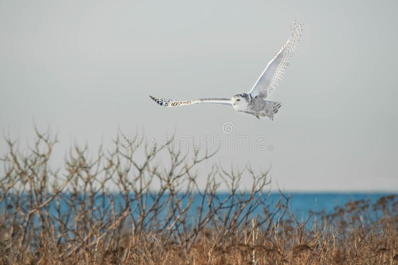 Snowy Owl. Flying low over the winter brush. Tommy Thompson Park, Toronto, Ontario, Canada stock images