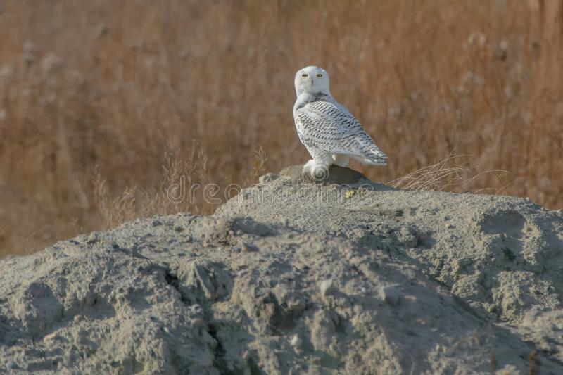 Download Snowy Owl stock photo. Image of environment, nature - 104238462