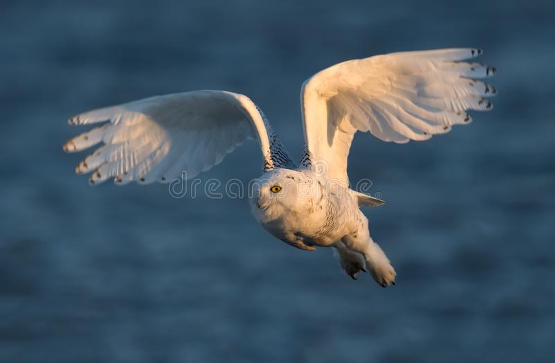 Download Snowy Owl stock photo. Image of beach, jersey, dune - 106933792