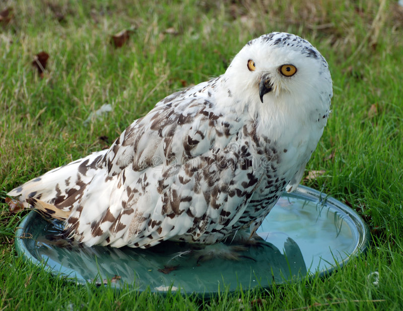 Snowy Owl In Water Dish. A snowy owl pictured in a water dish at the British Wildlife Centre stock image