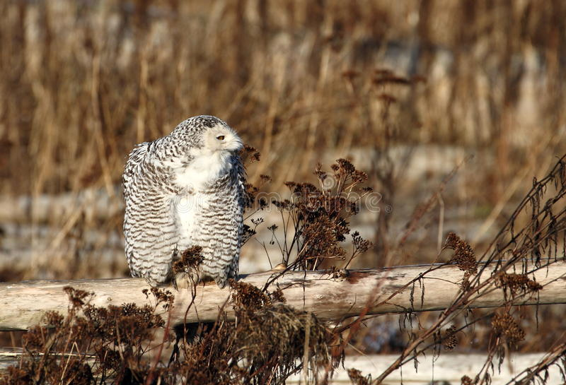 Snowy owl wooden fence royalty free stock photo