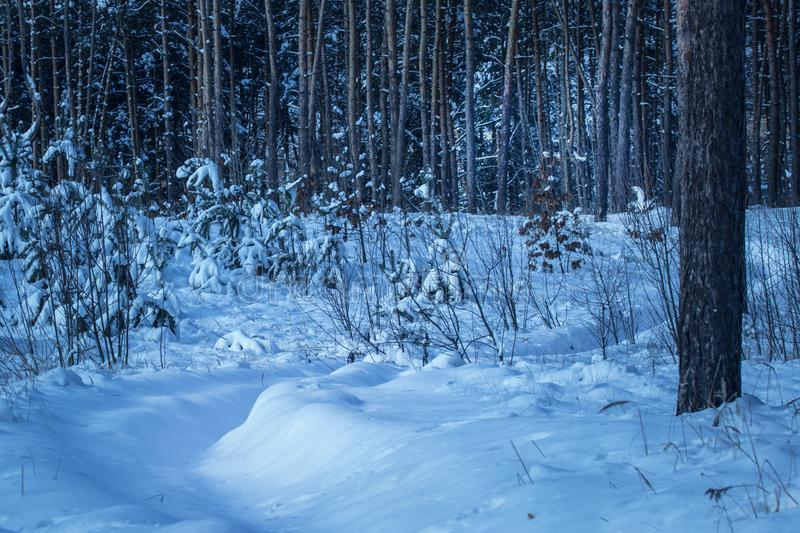 Snowy path leads into a fantastic winter forest with tall pine trees no one around. The mysterious and exciting atmosphere royalty free stock images