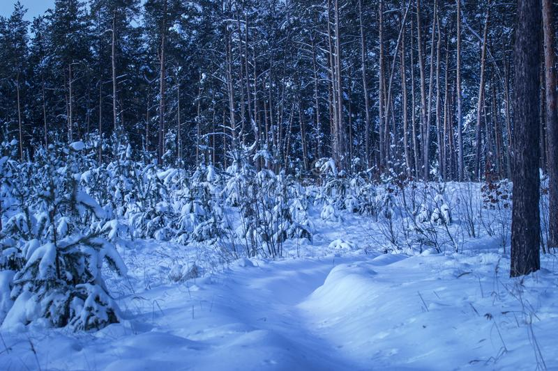 Snowy path leads to a fantastic forest with tall pine trees. Snowy path leads along the young fir trees into a fantastic forest with tall pine trees a bright and stock photos