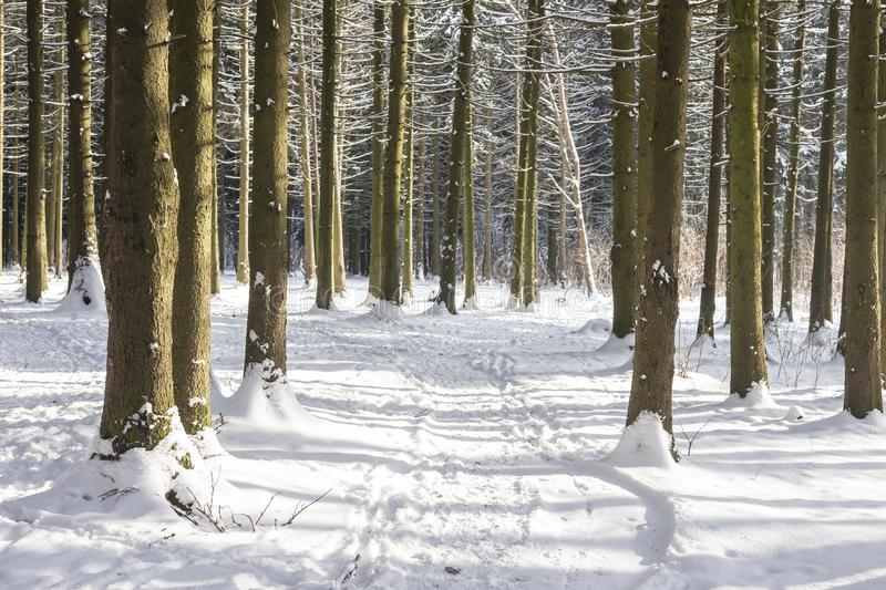 Snowy path in winter forest on sunny day. Natural scene of winter woodland. Nature landscape of winter forest with frosty trees. royalty free stock photo