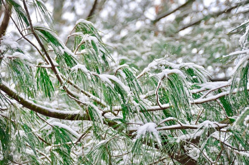 Snowy Pine. A pine bough laden with fresh snow in winter stock image