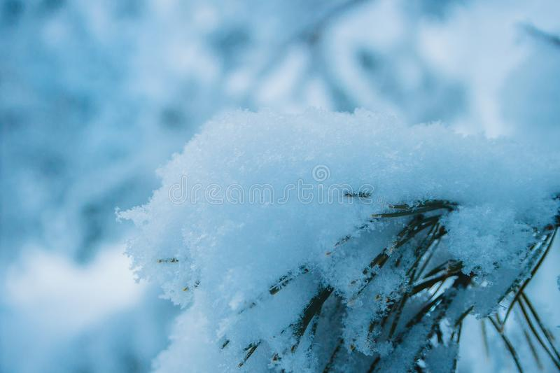 Snowy pine branch, winter stock image