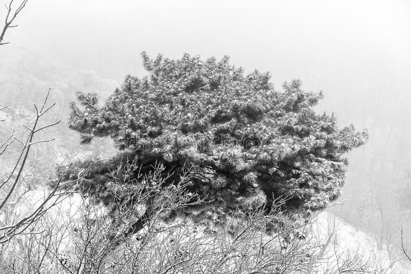 Snowy pine bush. In China royalty free stock images
