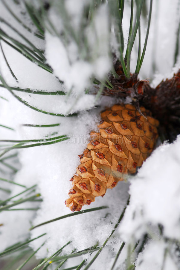 Snowy pine cone stock photos