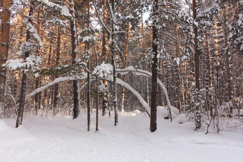 Snowy pine forest at sunset in winter, Russia, Siberia royalty free stock photos