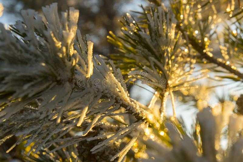 Snowy pine needles in winter during sunset stock photography