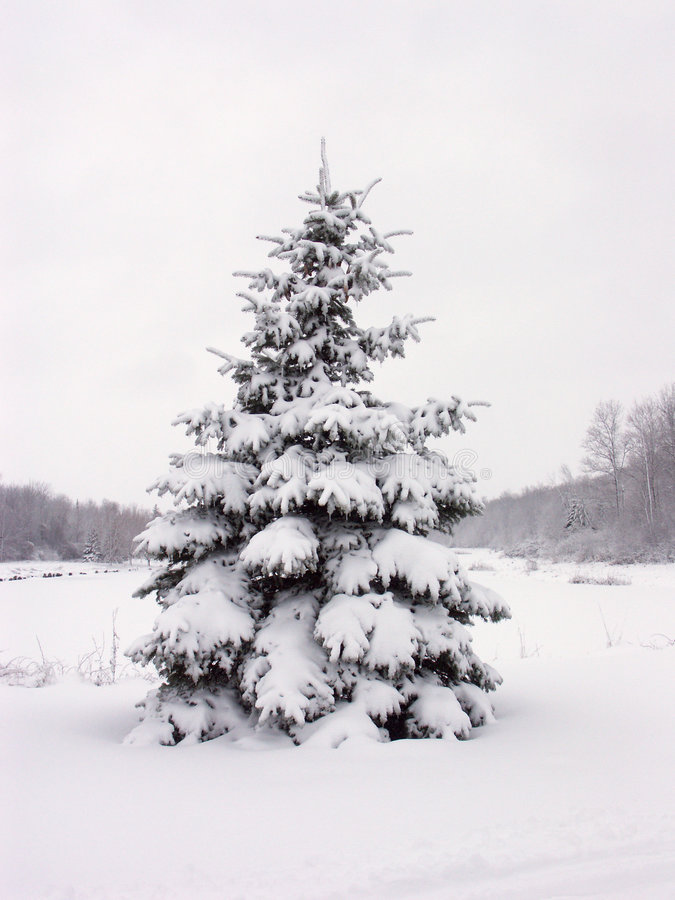 Free Snowy Pine Tree Stock Photography - 176912