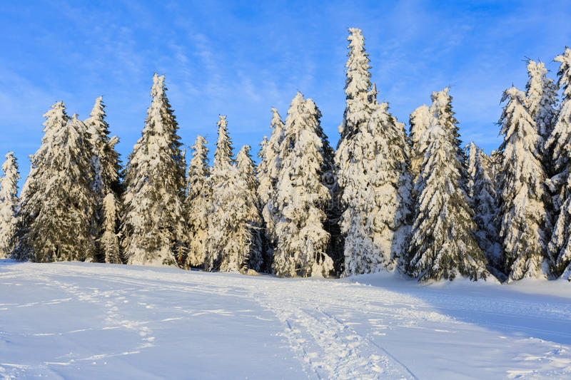 Snowy pine tree in wintertime royalty free stock images