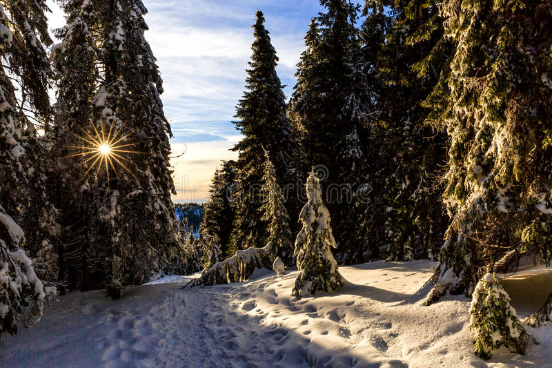 Snowy pine tree in wintertime stock images