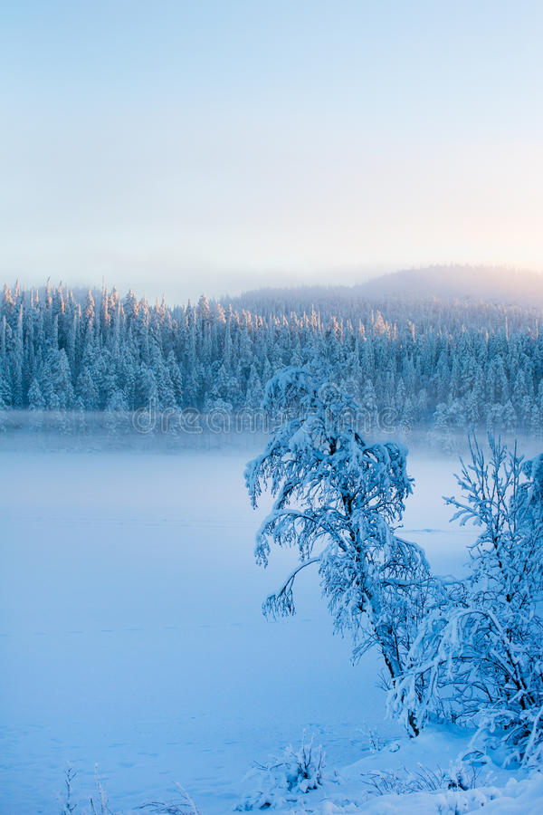 Snowy pine trees with fog on a winter landscape. stock images