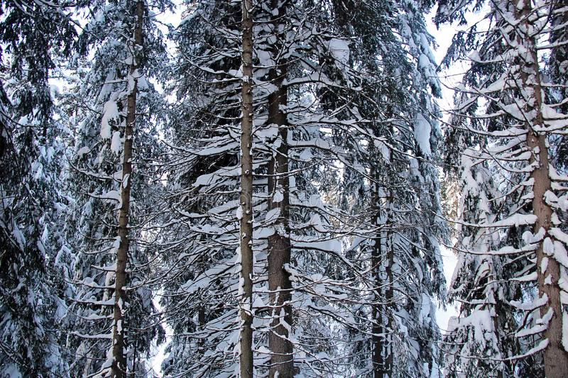 Snowy Pine Trees at the Forest. In Winter royalty free stock photo
