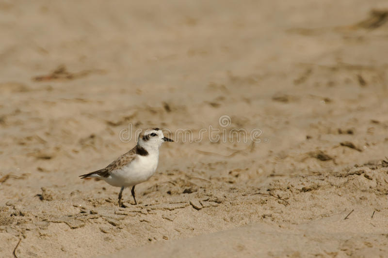 Download Snowy Plover Stock Photo - Image: 25932580