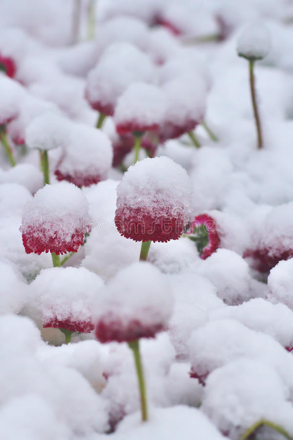 Snowy red dog daisy Bellis perennis in springtime. stock photo