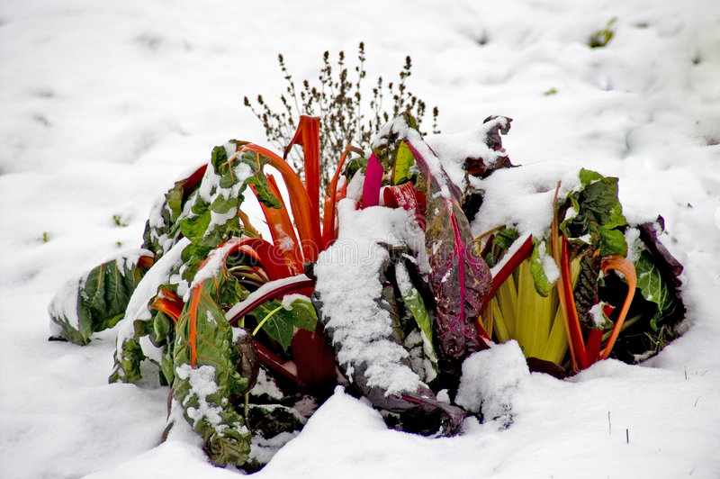 Snowy red swiss chard stock images