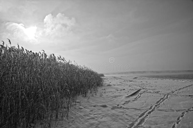 Snowy reeds at the lake stock images