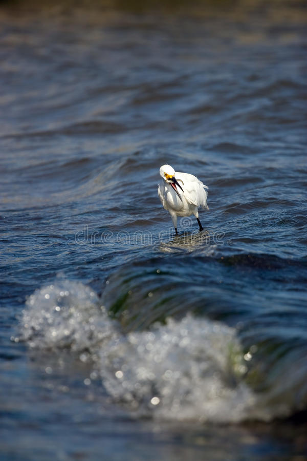 Snowy-Reiher, der Fische isst lizenzfreie stockfotos