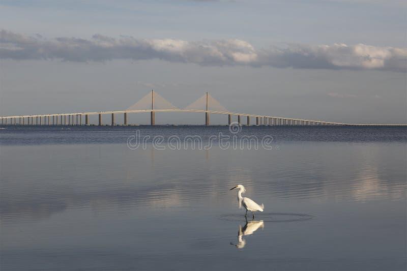 Snowy-Reiher mit der Sonnenschein Skyway-Brücke im Hintergrund lizenzfreie stockfotografie