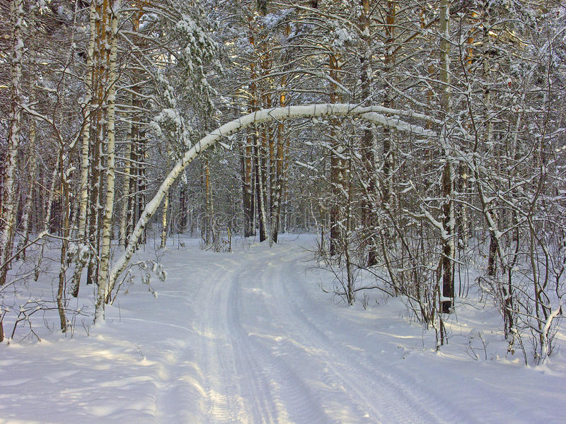 Snowy road in the forest. Winter forest in Siberia, deep snow, bitter cold, snow covered trees bowed over a dented snow road stock photos