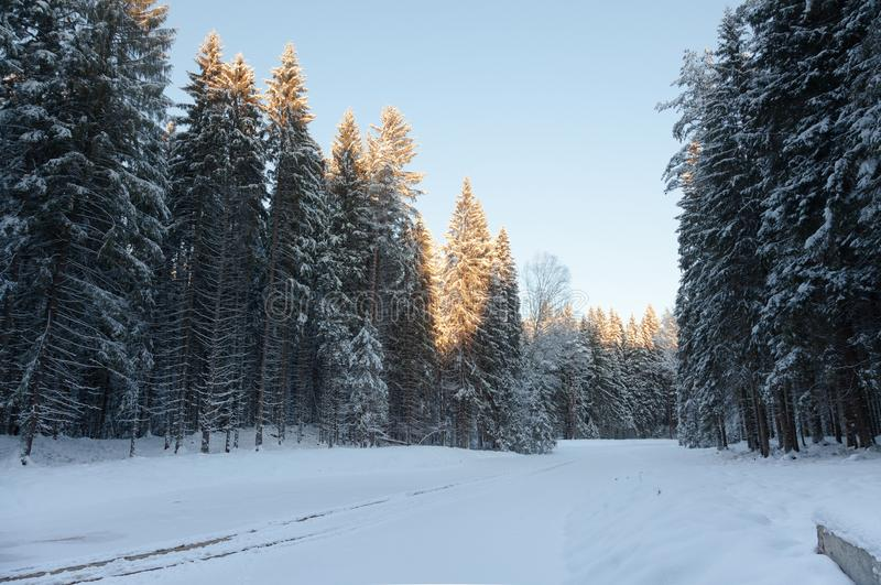 Snowy road in the winter forest among snowy tall fir trees. The sun illuminates the treetops royalty free stock photo