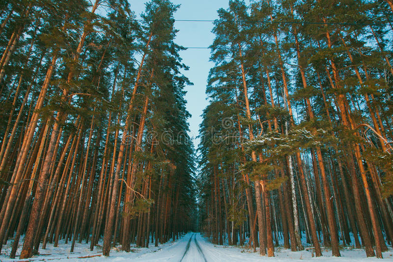 Download Snowy Road In Winter Pine Forest Stock Photo - Image of russia, cold: 48496578