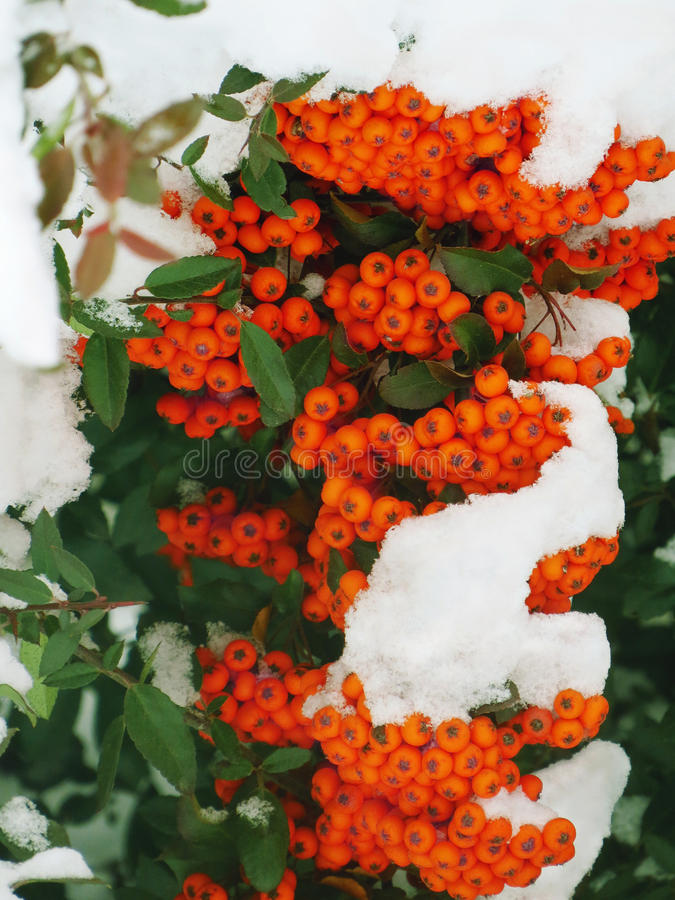 Snowy rowan berries stock image