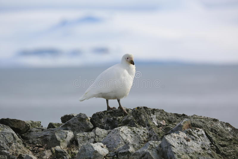 Snowy Sheathbill On A Rock In Antarctica Royalty Free Stock Images