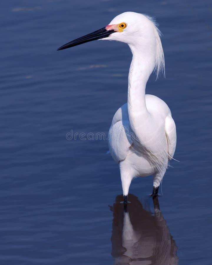 Download Snowy signorile immagine stock. Immagine di egret, wildlife - 215371