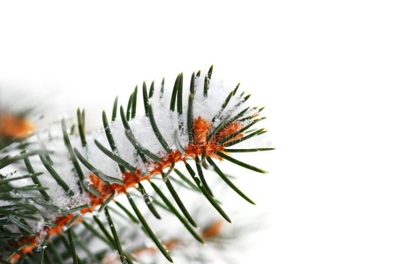Snowy spruce branch royalty free stock photo