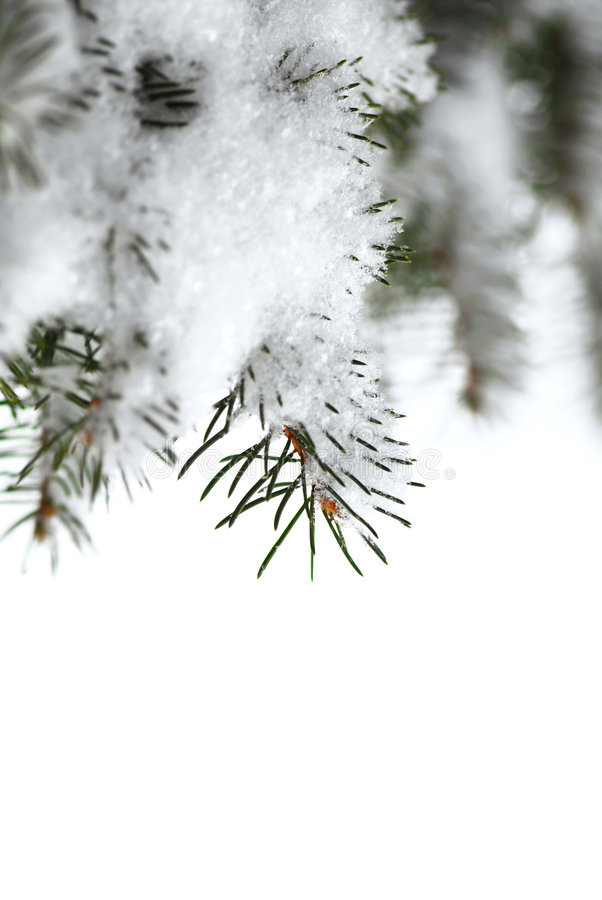 Snowy spruce branches stock images