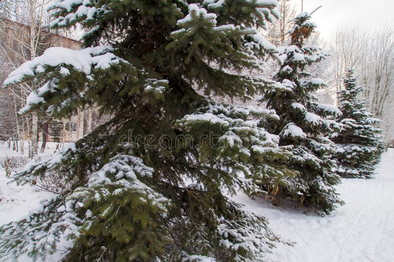Snowy spruce in het stadspark stock afbeelding