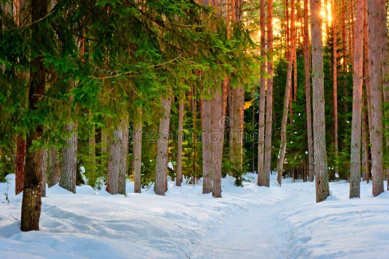 Snowy-Spur im Winterwald lizenzfreie stockfotos