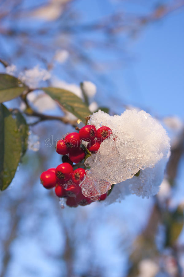 Snowy-Stechpalme mit blauem Himmel stockfoto