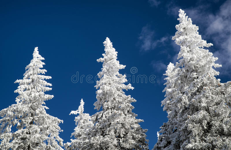 Snowy tops of the trees. In winter forest. Blue sky royalty free stock image