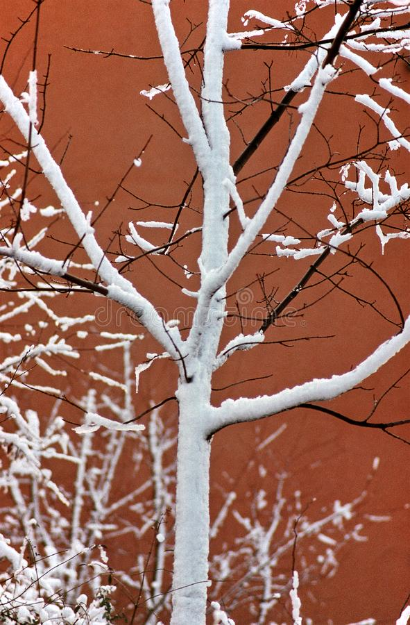 Snowy tree in front of red wall stock photo