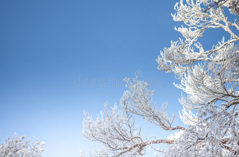 Download Snowy Tree Tops And Blue Sky Winter Season Background  Nature Stock Photo - Image: 83707320