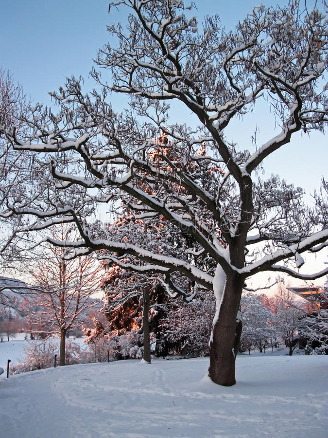 Snowy tree royalty free stock images