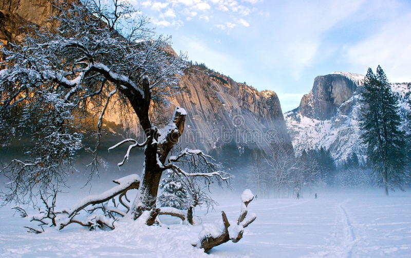 Snowy tree in Yosemite. Snow-covered tree on the Yosemite Valley floor under Halfdome royalty free stock photos