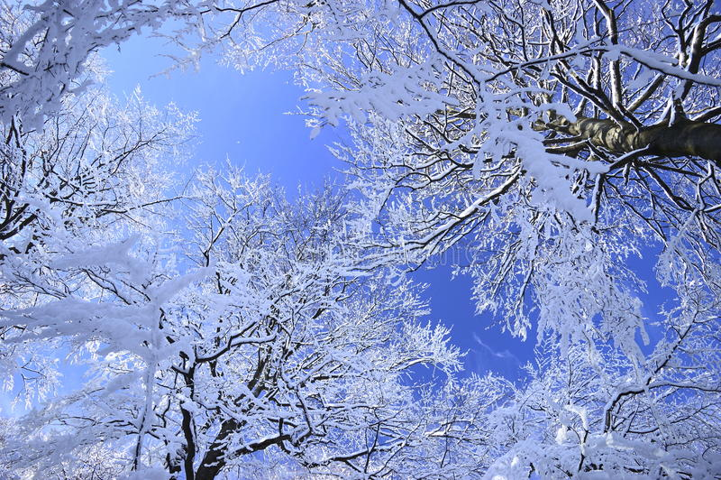 The Snowy Trees royalty free stock photo
