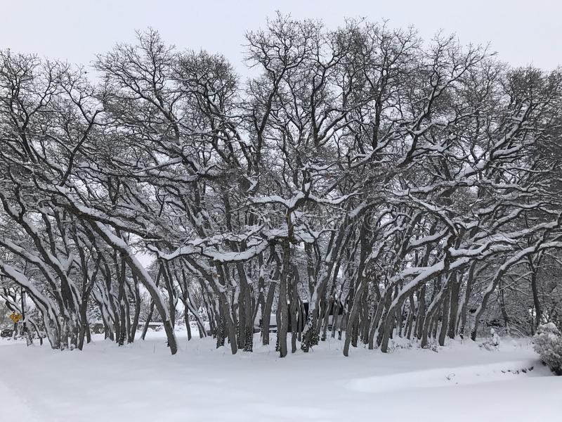 Download Snowy trees stock image. Image of snow, snowy, grove - 83724533