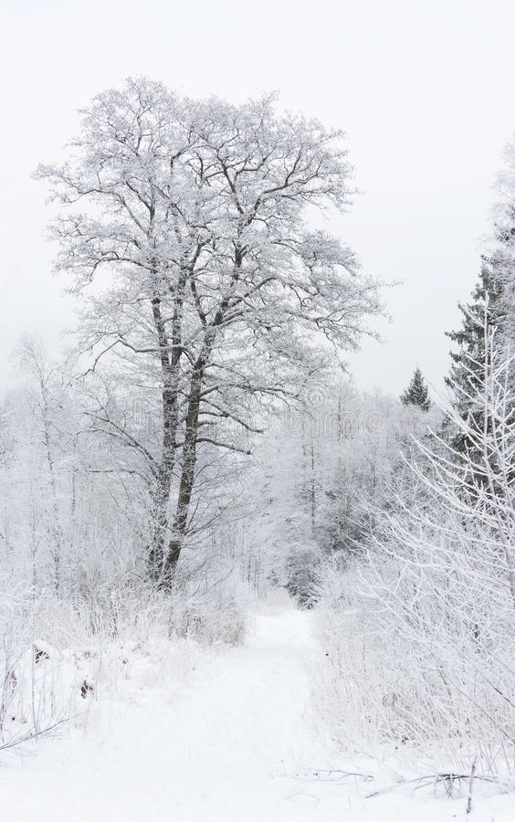 Snowy trees in winter forest royalty free stock photos
